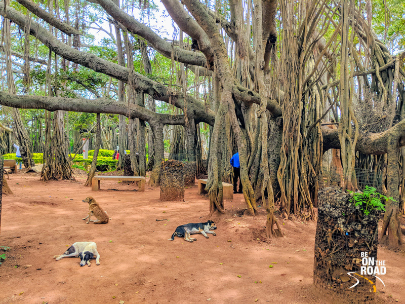 Dogs enjoy a relaxing Sunday at Dodda Alada Mara, Karnataka