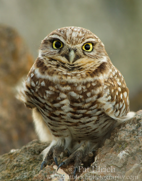 Photographic portrait of a Western Burrowing Owl