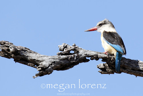 Kingfisher by Megan Lorenz