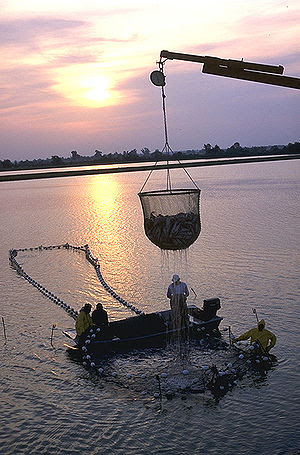 Aquaculture - workers harvest catfish from the...