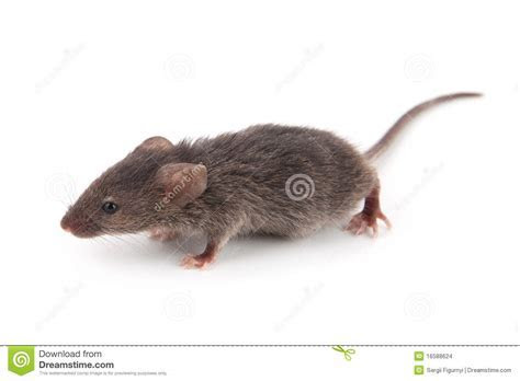 Small Mouse Stock Images   Image: 16588624