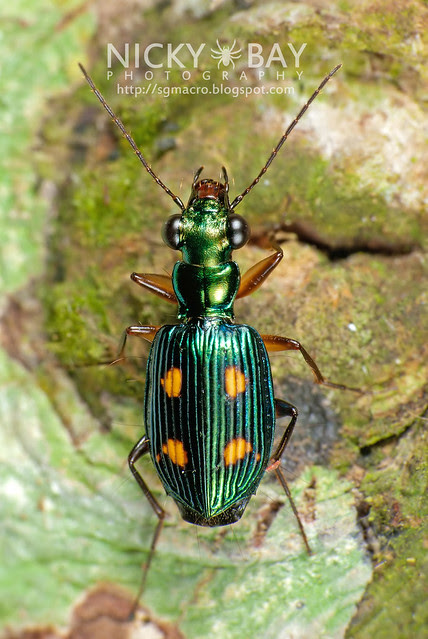 Ground Beetle (Carabidae) - DSC_9403