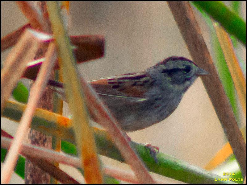 Swamp Sparrow