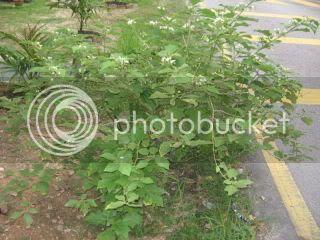 Pokok Terung Pipit