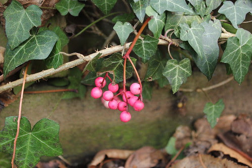 Rowan berries and ivy