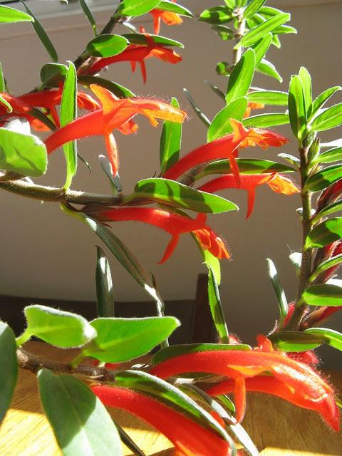 Goldfish Plant Flickr Photo Sharing