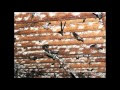 Suara Walet | Inap Koloni Super