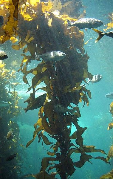 File:Kelp-forest-Monterey.jpg