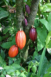 Flavanol Rich Cocoa Consumption Improves Blood Flow to the Brain