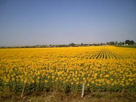 câmp cu floarea soarelui