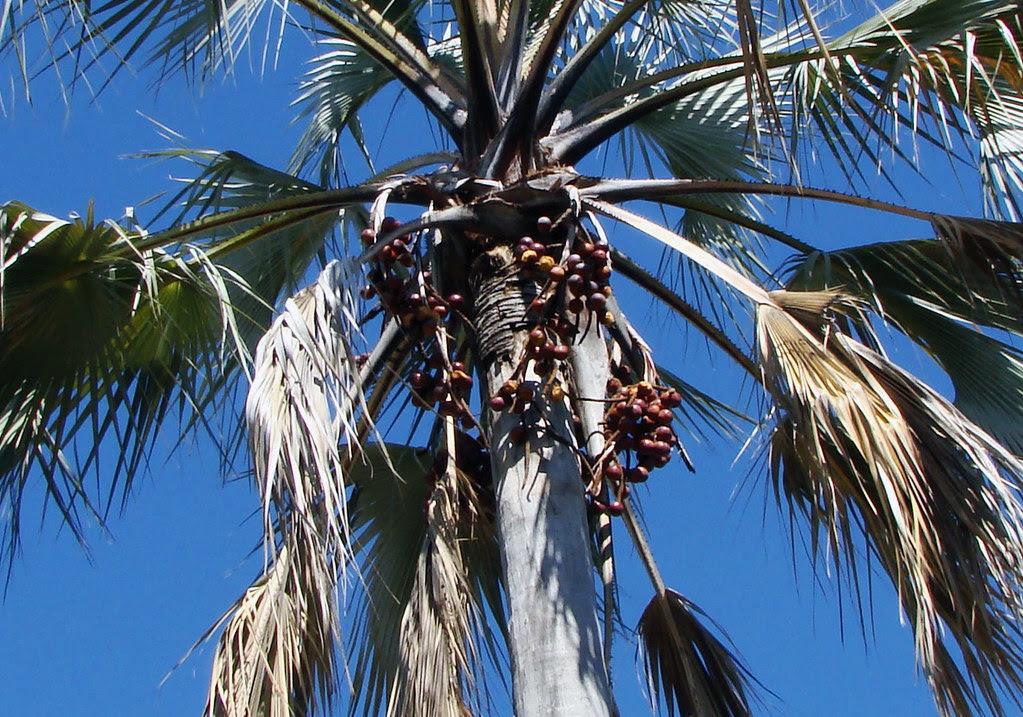 DSC08116 Real Fan Palm nuts