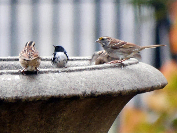 Ed Gaillard: recent &emdash; Black-Throated Blue Warbler, City Hall Park
