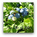 blueberry button