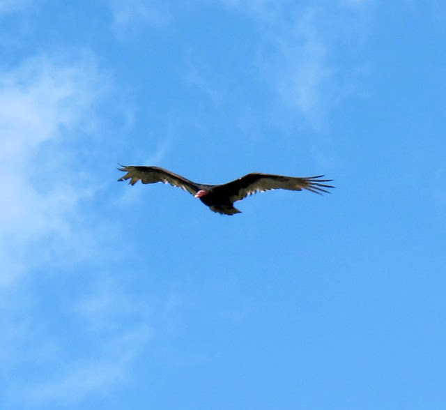 turkey vulture 4