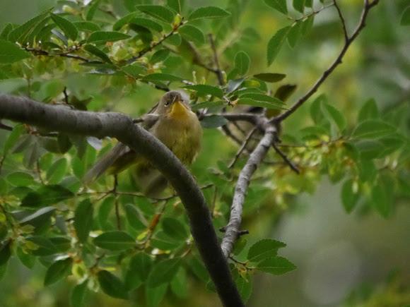 Ed Gaillard: birds &emdash; Common Yellowthroat, Madison Square Park