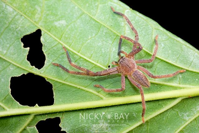 Huntsman Spider (Sparassidae) - DSC_2150