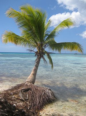 English: Coconut Palm tree in Saona Island, Do...