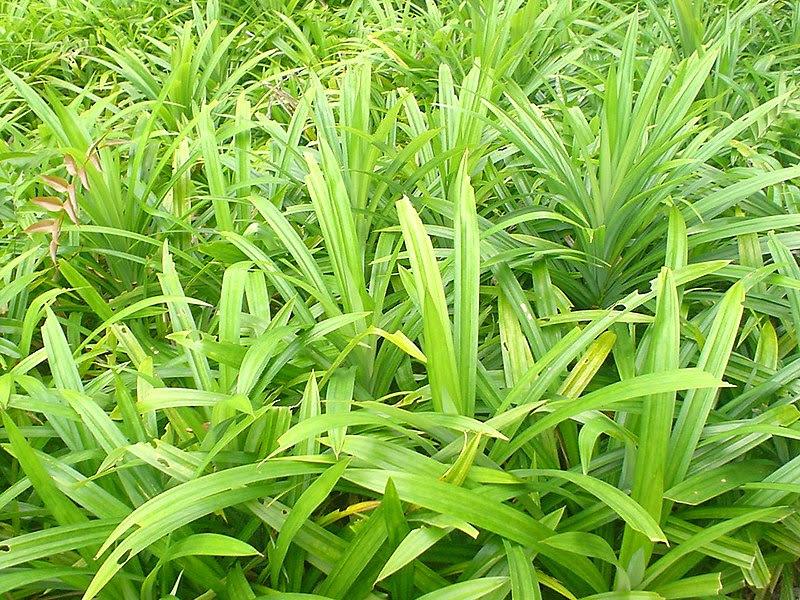 File:Pandan (screwpine) leaves.JPG