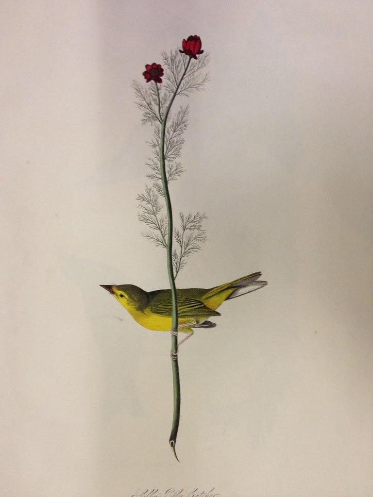 audubon yellow bird