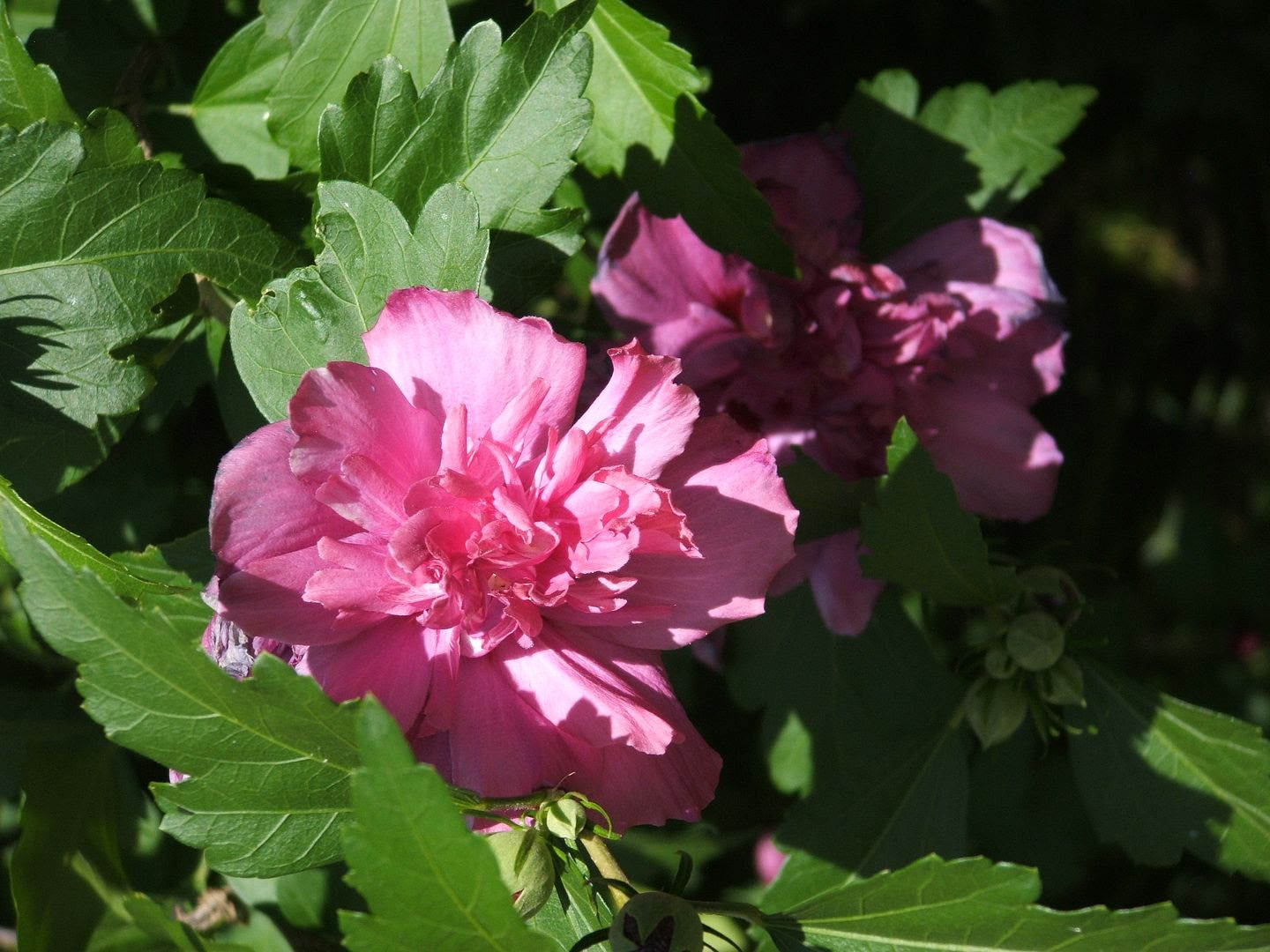 Rose of Sharon by Angie Ouellette-Tower for godsgrowinggarden.com photo 005_zps3b66973c.jpg