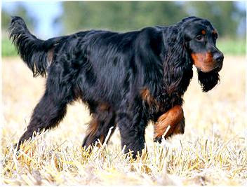 Breed of the Week: Gordon Setter  Paws Playgrounds