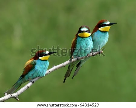 European bee-eaters alighted on a twig