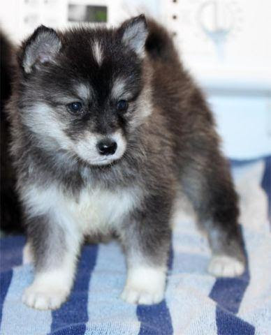 Pomsky Puppies For Sale In Ma
