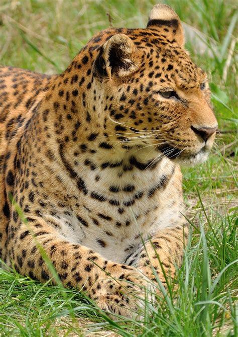 leopard lying   grass  stock photo