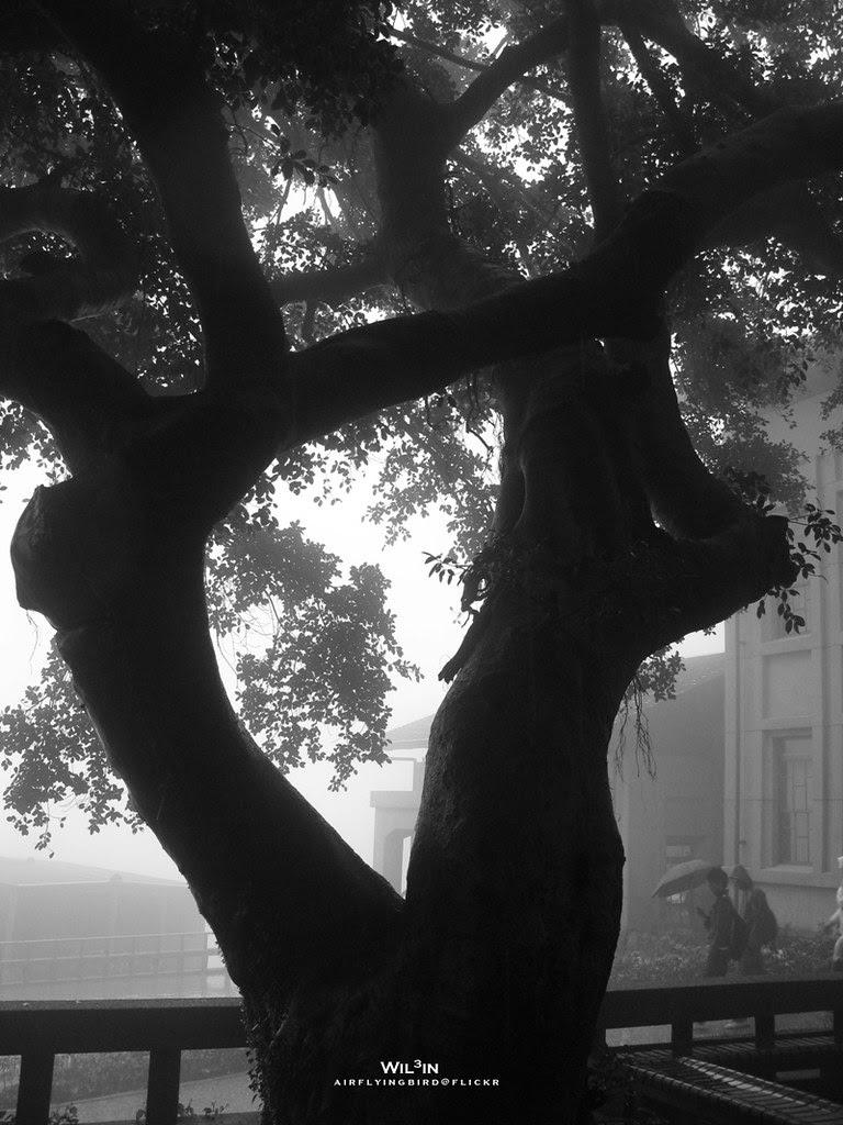 雨中的大樹