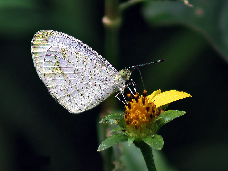 File:Common grass jewel Im IMG 7022.jpg