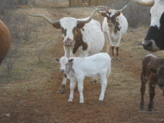 New Texas Longhorn Bull Calf donato