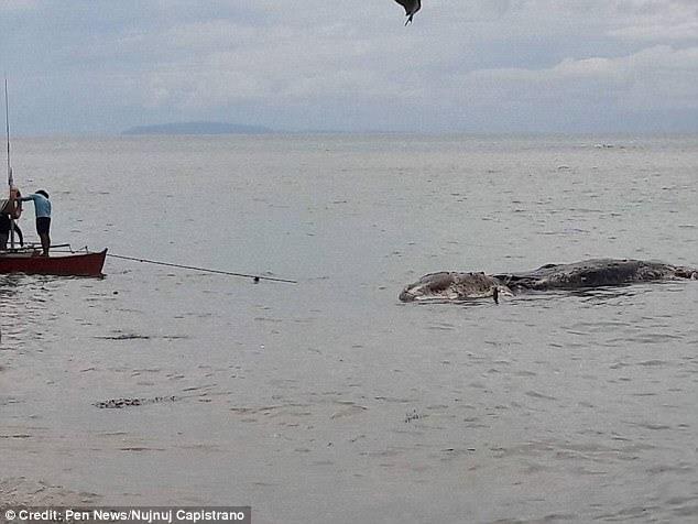 Ο Julius Alpino, από το Γραφείο Αλιείας και Υδατικών Πόρων, δήλωσε ότι το πτώμα δεν μπορούσε να εντοπιστεί επειδή ήταν ήδη αποσυντεθειμένο.  Σύμφωνα με πληροφορίες, η πόλη αποφάσισε να τραβήξει το πλάσμα μήκους 32 ωρών πίσω στη θάλασσα, λέγοντας ότι δεν θα μπορούσε να ταφεί λόγω του μεγέθους της και η μυρωδιά της ήταν ήδη επικίνδυνη για την υγεία
