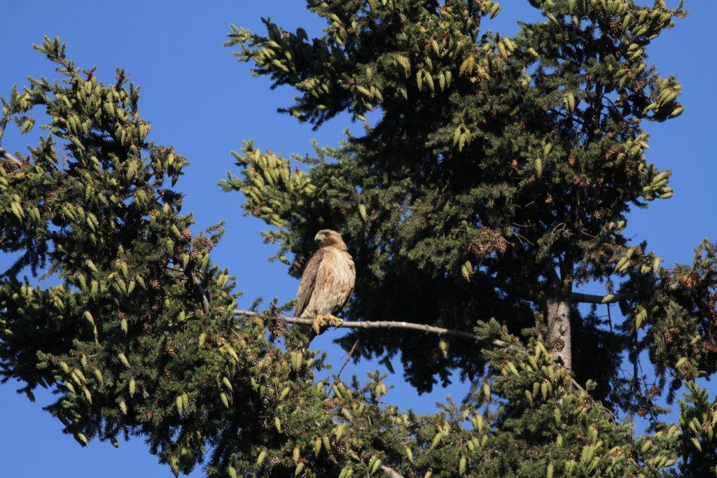 Red-tailed Hawk mother / Photo by Mary Malec