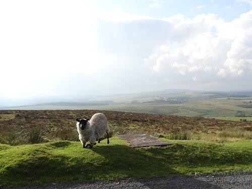Kneeling Sheep in Dartmoor