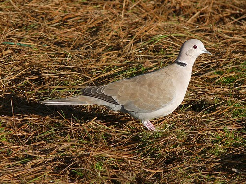 11875 - Collared Dove at WWT Llanelli