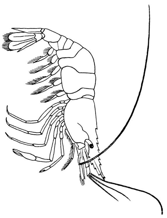 Coloring page Shrimp  img 15952.