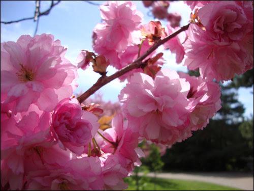 Cherry Blossom tree, Royal Botanical Gardens, May 5, 2012