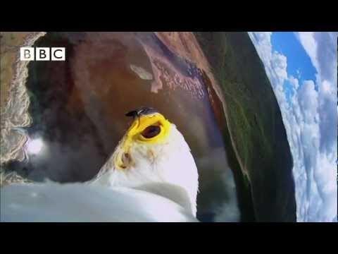 Predator Fish Eagle Hunts Flamingos