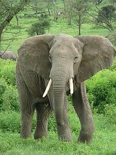 Elephant near ndutu.jpg