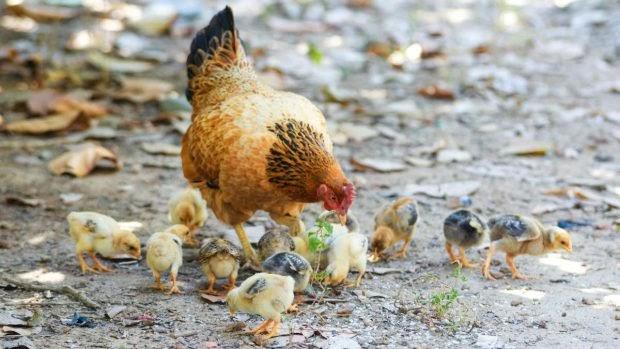 Cómo enseñar a las gallinas a que vuelvan al gallinero