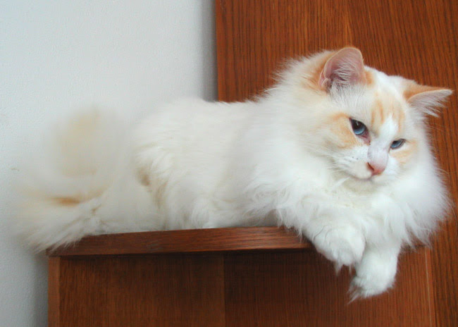 Colors and varietes of Ragdoll Breed - Ragdolls Cattery Faelis