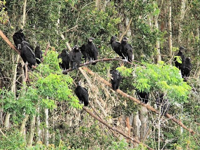 Black Vultures 20130530