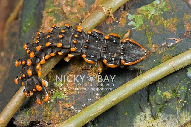 The Singapore Trilobite Larva