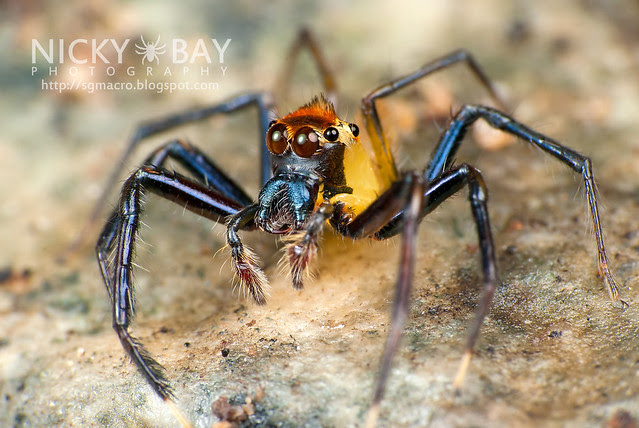 Jumping Spider (Epeus sp.?) - DSC_9028