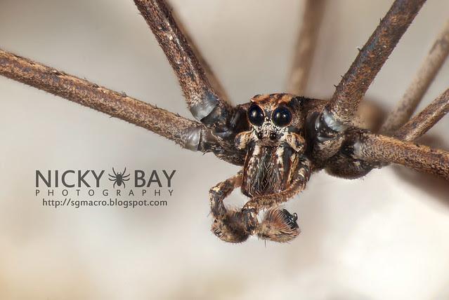 Net-Casting Spider (Deinopidae) - DSC_6166