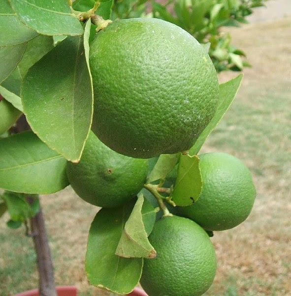File:Backyard limes.jpg