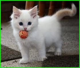 Kucing Lucu Jenis