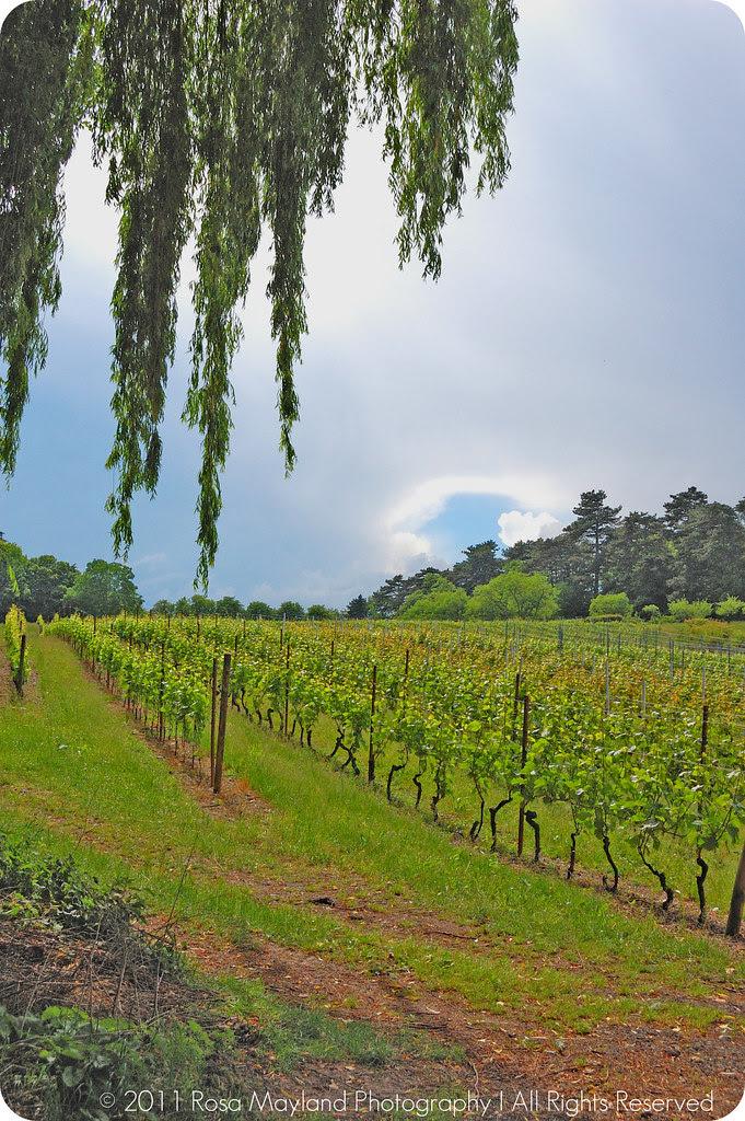 Border Vineyard 1 1 bis