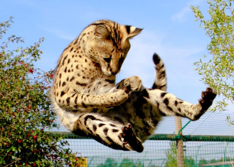 сервал прыгает. фото