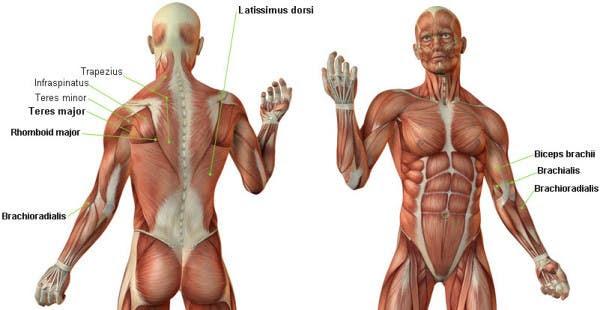 dominadas anatomia